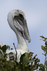 Brown Pelican Chick