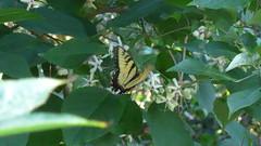A Swallowtail Butterfly Enjoys a Sip