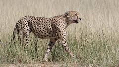 Cheetah, Acinonyx jubatus, at Kgalagadi Transfrontier Park, Northern Cape, South Africa