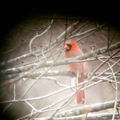 Hi pretty..! . #redcardinal