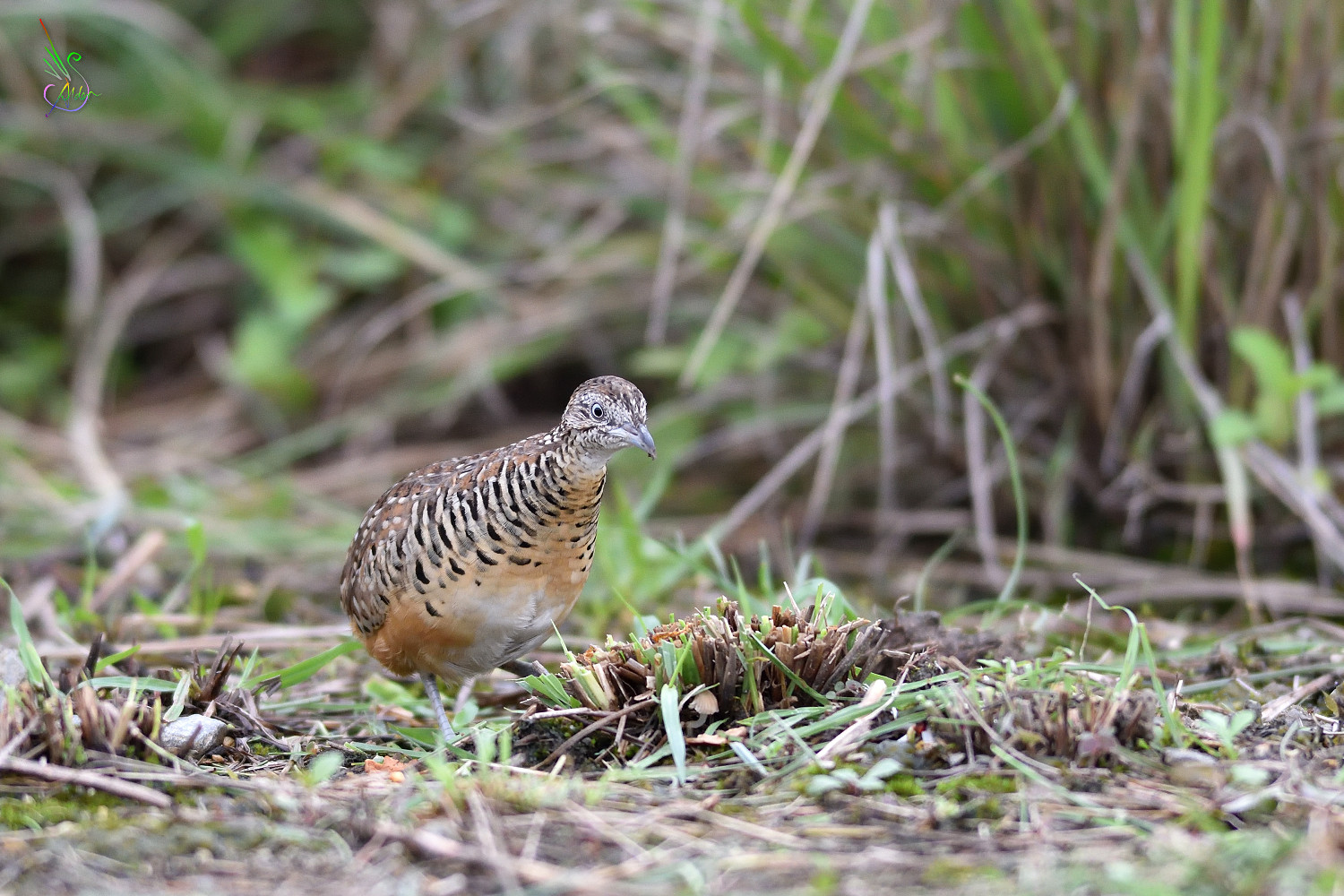 Barred_Buttonquail_2262