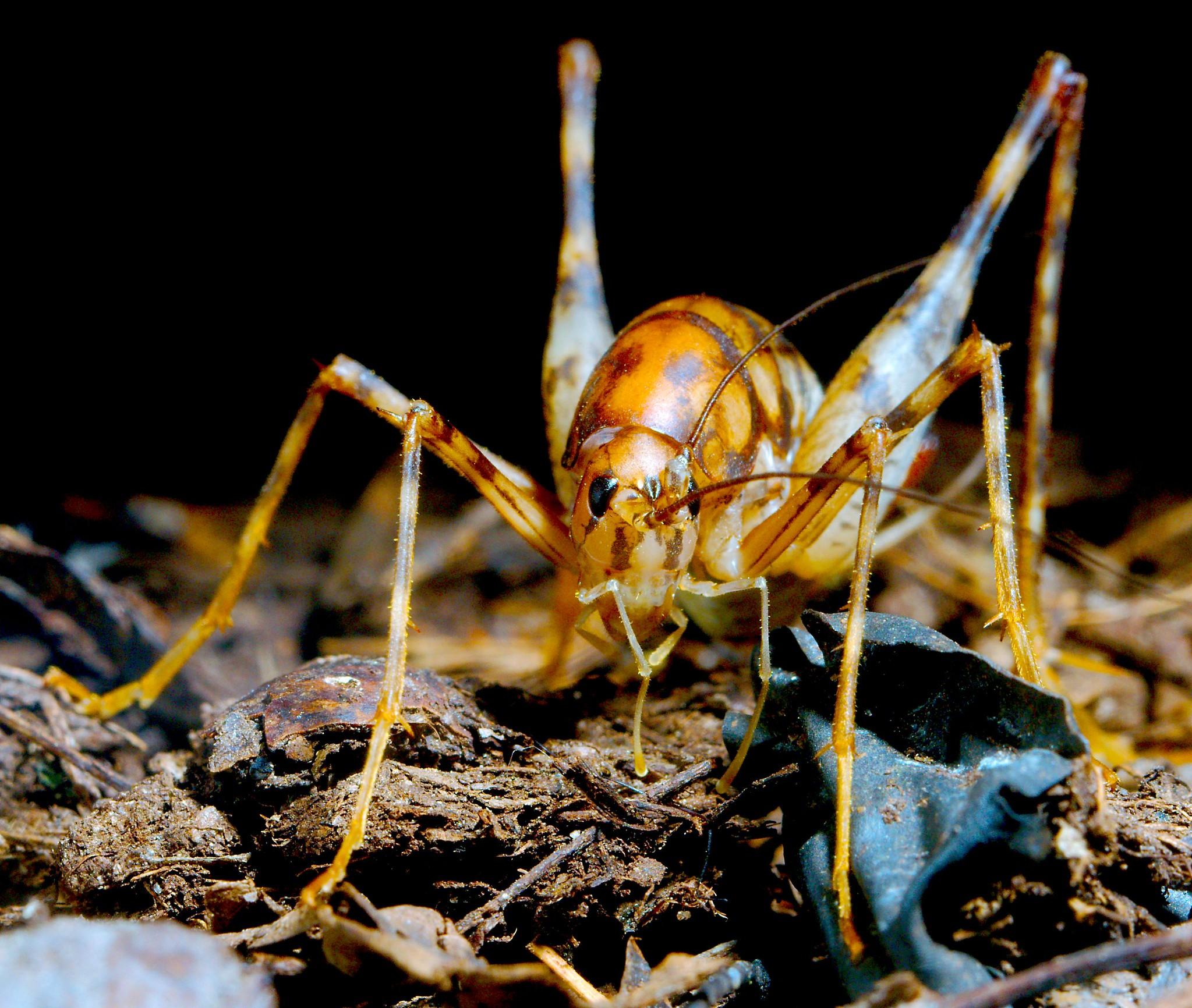 Cave Cricket (Ceuthophilus gracilipes)_2