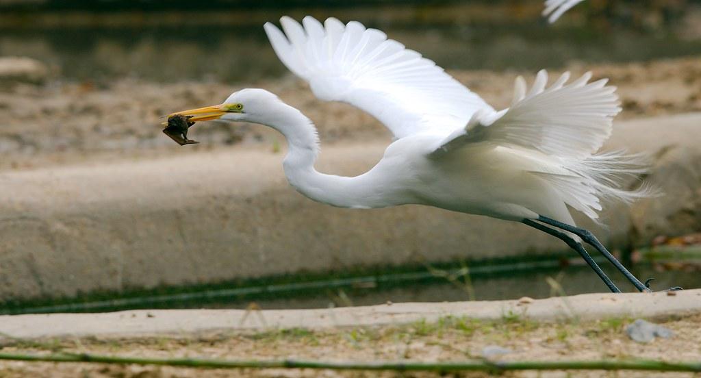 White Heron_5