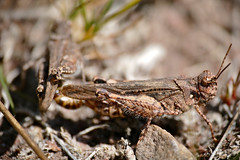 Digging Grasshoppers (Acrotylus insubricus) mating