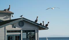Pelicans and Seagulls  - Santa Barbara, California