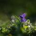 violet.. by PREMZIEBA