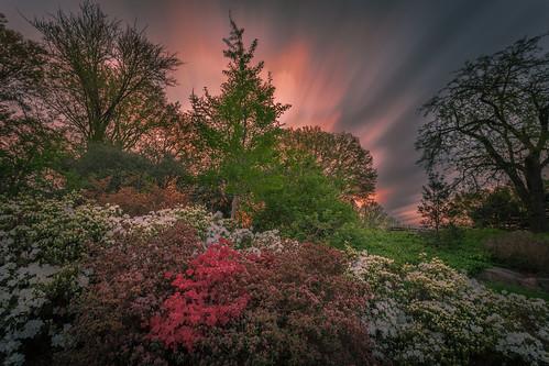 spring morning flowers azalea
