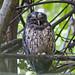 Tropical Screech-Owl (Tarina Hill)