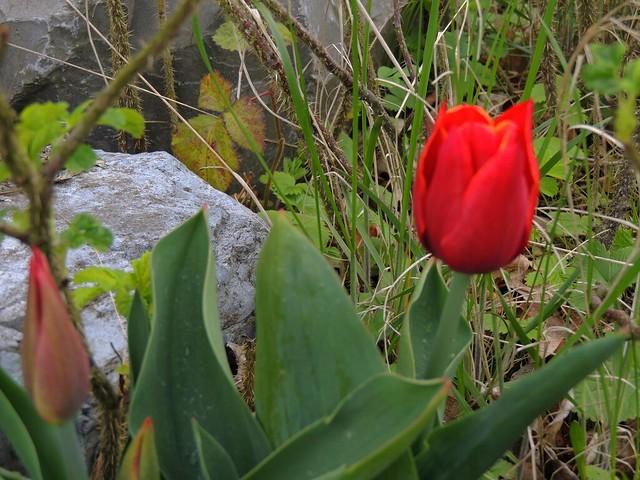 rote Tulpe - tulip