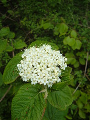 shrub, flower, guelder rose, plant, wildflower, flora, viburnum,