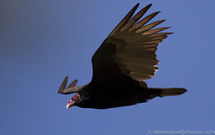 Turkey vulture, Lincoln, Oregon