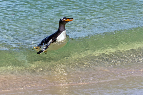 Gentoo Penguin in the Surf by bfryxell
