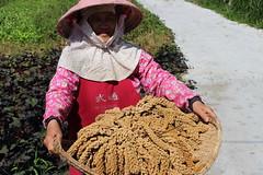 奇美部落種生產的無毒小米。