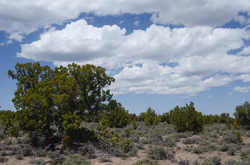 unitedstates nevada cupressaceae pinusmonophylla pinaceae juniperusosteosperma whitepinerange artemesianova