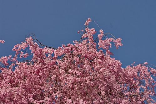 【写真】2013 桜 : 龍安寺/2020-01-22/IMGP9844