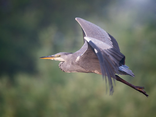 Grey Heron - early morning flight