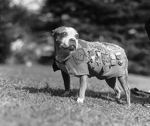 WWI War Dog - Sgt. Stubby, circa 1918