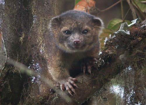 住在雨林的Olinguito。(圖片:史密森博物學會新聞稿提供。)
