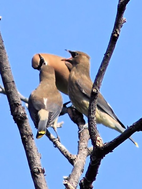 Cedar Waxwing feeding young 20130830