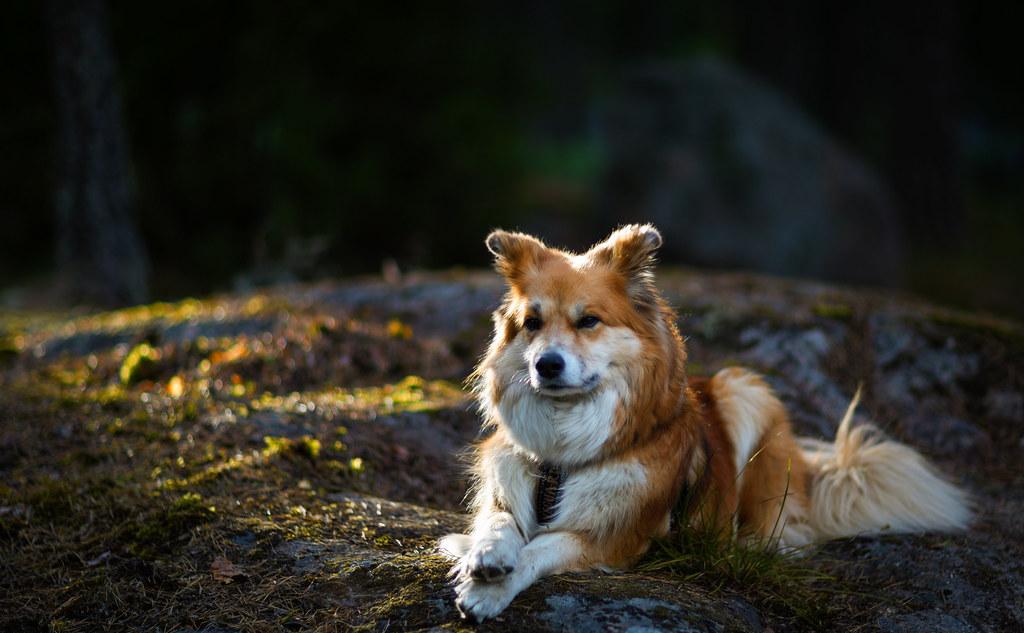 Icelandic Sheepdog - Pontus