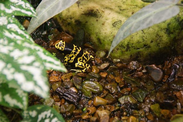 North Carolina ZOO - Bumblebee Poison Frog   Flickr ... Poisonous Green Frogs Of North Carolina