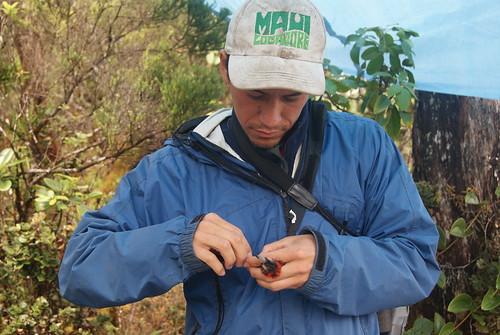 Alex Wang carefully bands an ʻĀkohekohe.