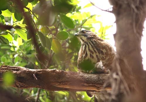 公園裡享用著大餐的鳳頭蒼鷹。(圖片攝影:曾建偉)