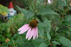 Bumblebee Cone Flower 1