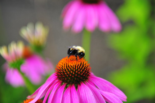 IN for a Landing (Purple Cone Flower)  Echinacea