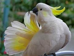 macaw(0.0), parakeet(0.0), cockatoo(1.0), animal(1.0), parrot(1.0), yellow(1.0), wing(1.0), sulphur crested cockatoo(1.0), fauna(1.0), cockatiel(1.0), beak(1.0), bird(1.0),