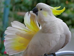 cockatoo, animal, parrot, yellow, wing, sulphur crested cockatoo, fauna, cockatiel, beak, bird,