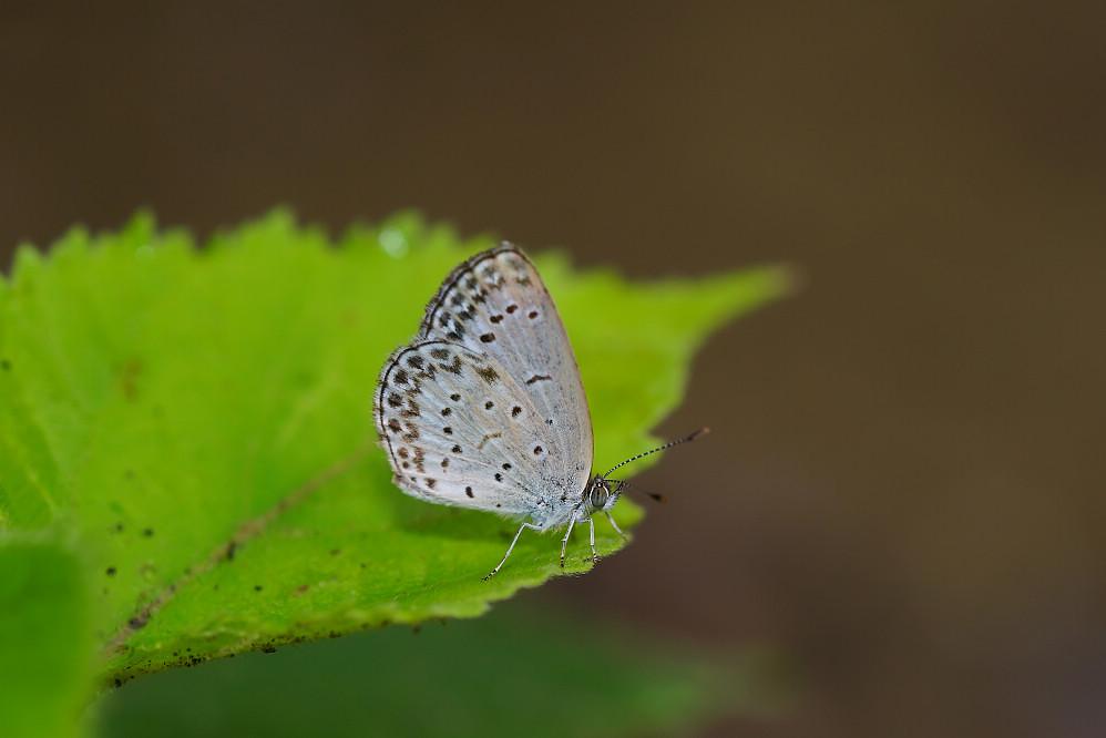 藍灰蝶屬藍灰蝶02