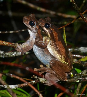 Bleating Tree Frogs (Litoria dentata) Amplexus