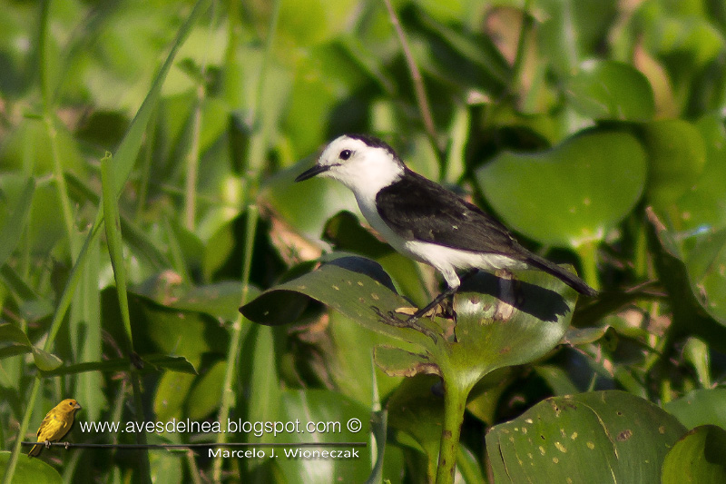 Viudita blanca, Pied water Tyrant, Fluvicola albiventer