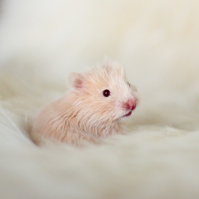 Cream Syrian hamster baby | Flickr - Photo Sharing!