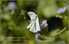 Great Southern White (in flight) Texas butterfly photography by Ron BirrellDSC_7501