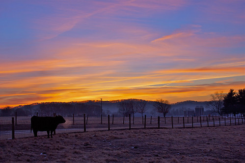 beautiful sunrise landscape cow cattle knoxville angus farm tennessee beef farming agriculture