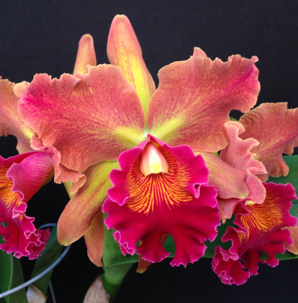 Orchids by hausermann 39 s most interesting flickr photos for Orchidea cattleya
