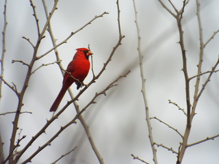 northern cardinal on Trinity Trail