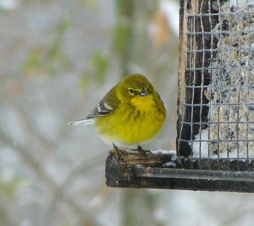 winter snow bird warbler