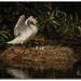 Mute Swans in Viera by jeannie'spix