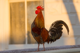 Key West Trip - Rooster in the Evening