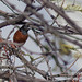 Orchard Oriole by Bothering Birds