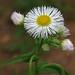 common fleabane by mimbrava