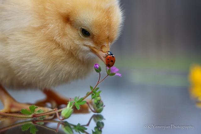 Baby Chicks-7924