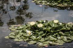 Lilypads, Dallas Arboretum