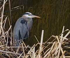 Great Blue Heron - 4