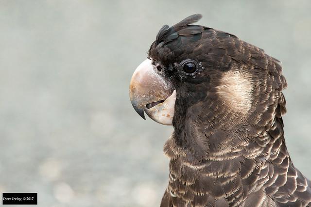 Carnaby's Black Cockatoo (Calyptorhynchus latirostris)