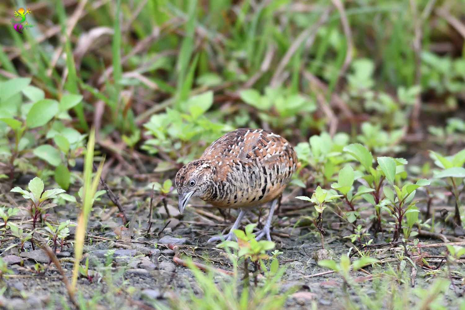 Barred_Buttonquail_9165