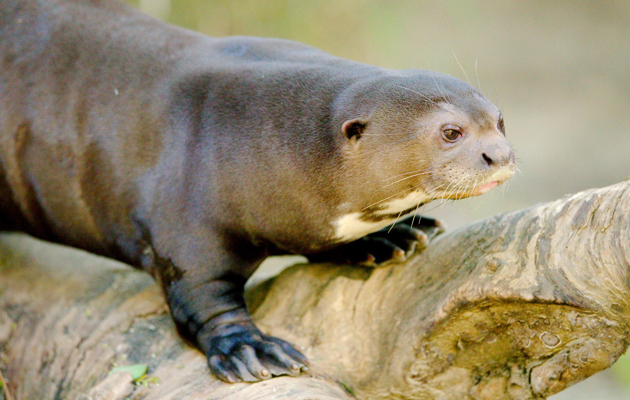 Giant River Otter_11